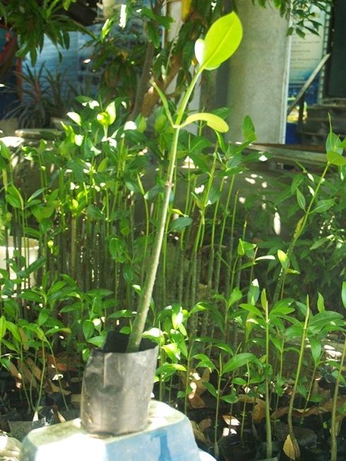 jual bibit bakau mangrove mamuju