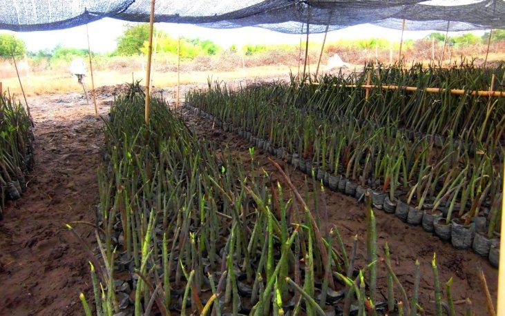 jual bibit bakau mangrove Sipirok