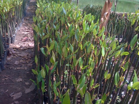 jual bibit bakau mangrove Tondano