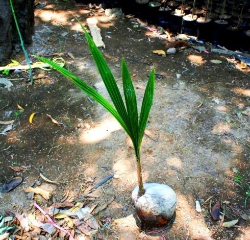 jual bibit pohon kelapa di Denpasar