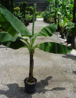 jual bibit pisang Bengkulu