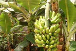 jual bibit pisang palopo