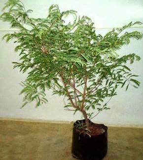 jual pohon asem di Kupang