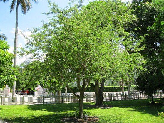 jual pohon asem bondowoso di Kupang