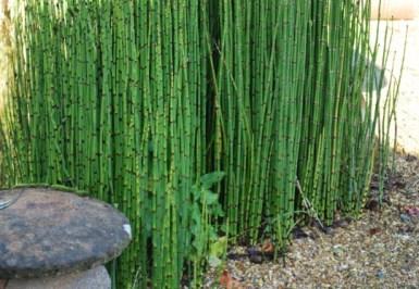 jual pohon bambu hias blitar
