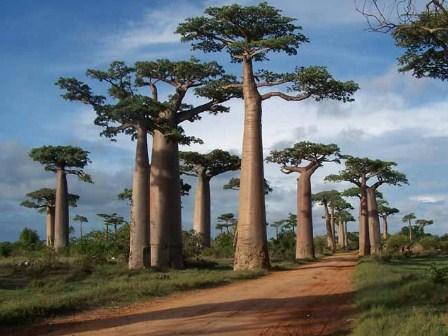 jual pohon baobab Bengkulu