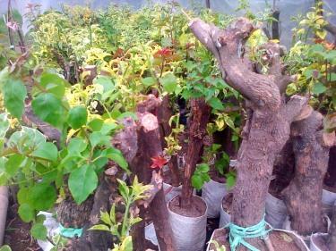jual pohon bougenville Bengkulu