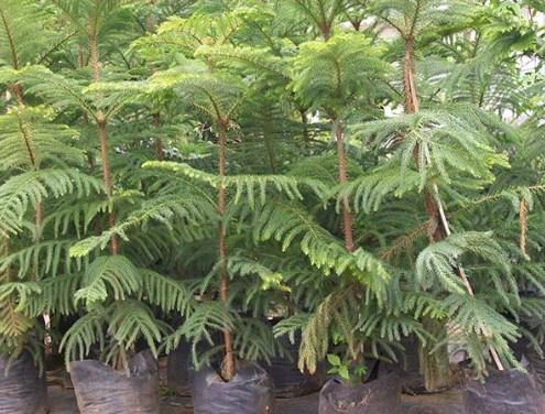jual pohon cemara Bengkulu