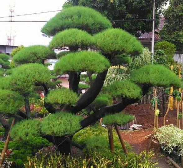 jual pohon cemara Kupang