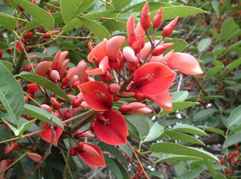 jual pohon dadap merah Kupang