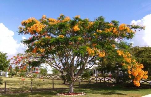 jual pohon flamboyan Bogor