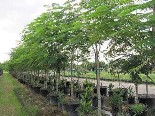 jual pohon flamboyan Bengkulu