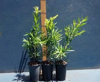 jual pohon kayu putih Bengkulu