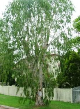jual pohon kayu putih Kupang