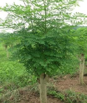 jual pohon kelor Kupang