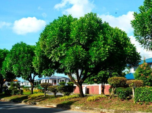 jual pohon kiara payung Kupang