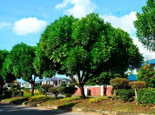 jual pohon kiara payung Serang