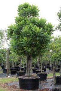 jual pohon kiara payung cirebon