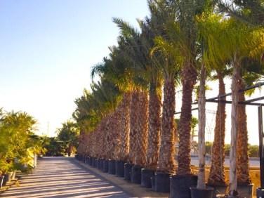jual pohon palem Buru