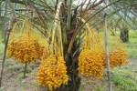 jual pohon kurma Bengkulu