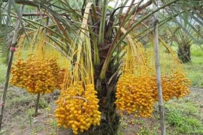 jual pohon kurma Denpasar
