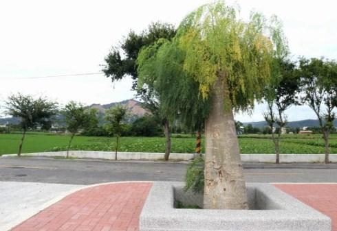 jual pohon moringa kelor afrika Bandung
