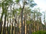 jual pohon moringa kelor afrika Balikpapan