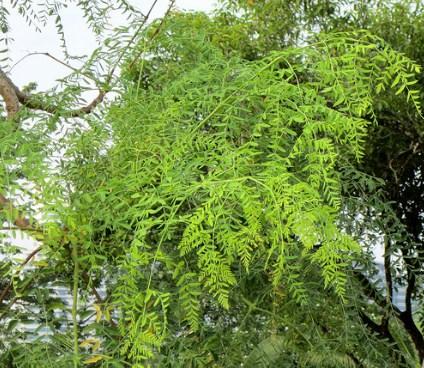 jual pohon moringa kelor afrika Kupang