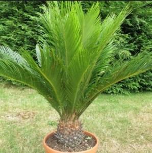 jual pohon sikas Bengkulu