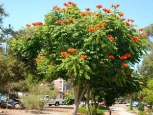Jual Pohon Spathodea di Kotabumi