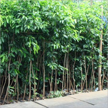 jual pohon tanjung di Surabaya