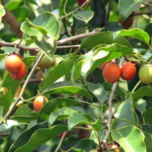 jual pohon tanjung