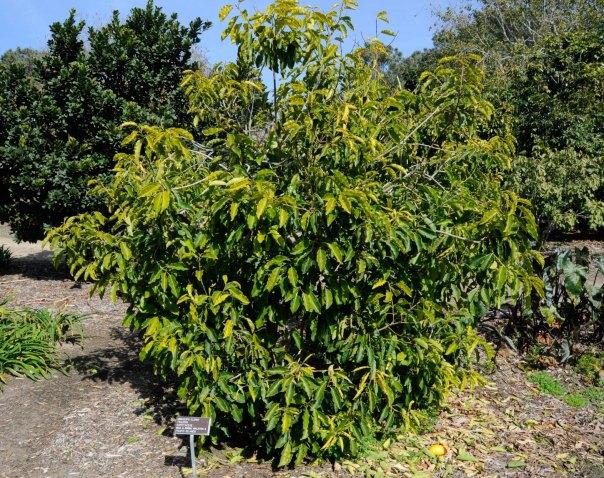 jual pohon tanjung di Serang
