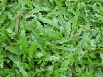jual rumput taman donggala