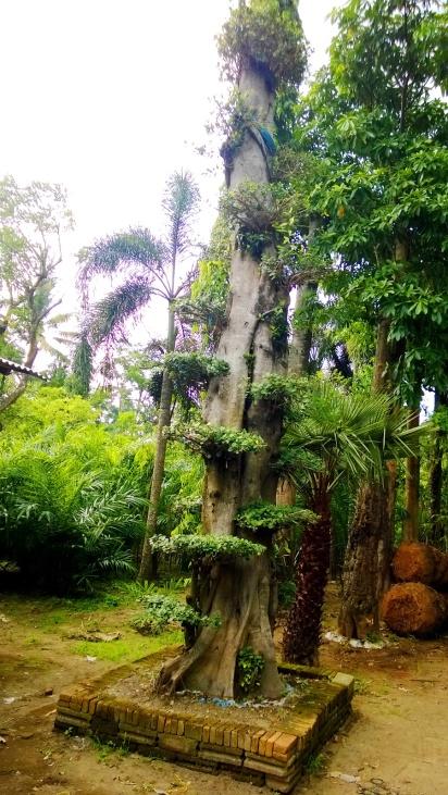 jual pohon beringin Kupang