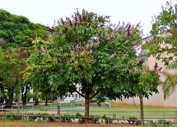 jual pohon bungur Bogor