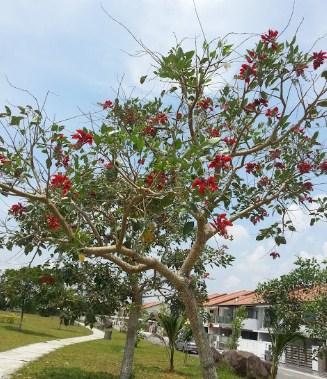 jual pohon dadap merah Bengkulu