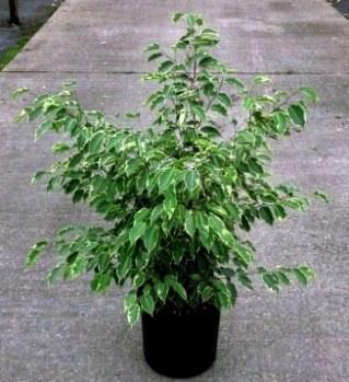 jual pohon beringin Bandung