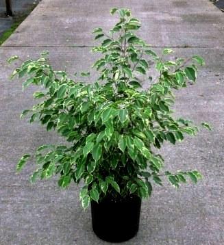 jual pohon beringin Palembang