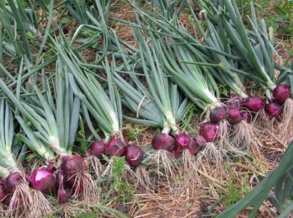 jual bibit bawang merah di Bengkulu