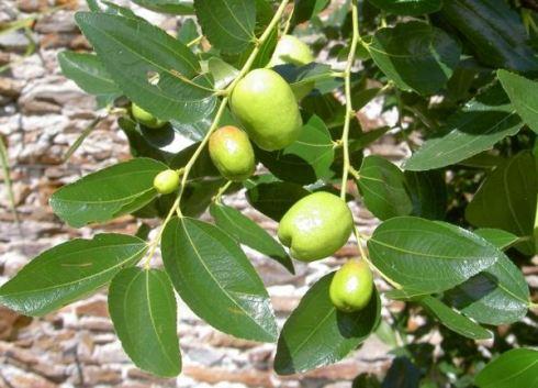 jual pohon bidara di Kupang