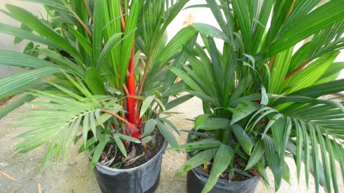 jual pohon palem merah di Padang