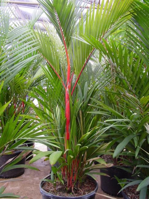 jual pohon palem merah di Ogan Komering Ilir