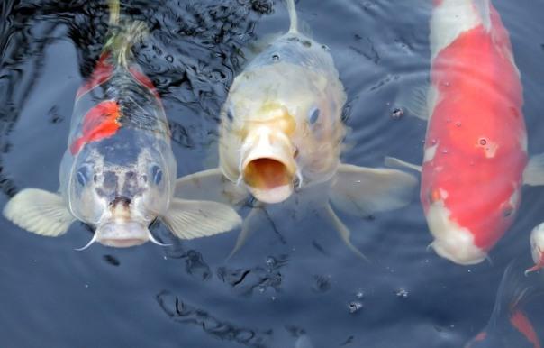 jual ikan koi di Kupang